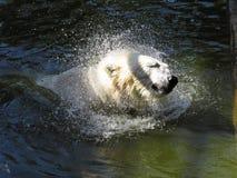 美好的白色北极熊顶头震动的水下落,当游泳在水中时 库存图片