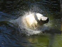 美好的白色北极熊顶头震动的水下落,当游泳在水中时 图库摄影