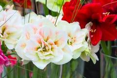 美好的白色和桃红色百合花开花宏指令关闭 库存图片