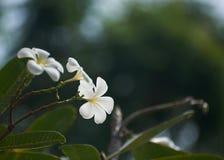 美好的白色在树干的羽毛晨曲花 库存照片