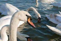 美好的白色天鹅游泳在一个晴天在河 免版税库存图片