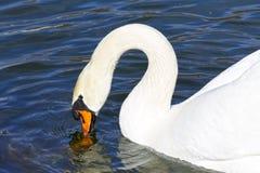 美好的白色天鹅游泳在湖,水的黑暗的表面上 免版税库存图片