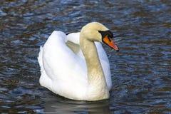 美好的白色天鹅游泳在湖,水的黑暗的表面上 免版税图库摄影