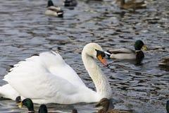 美好的白色天鹅游泳在湖 图库摄影