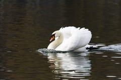 美好的白色天鹅游泳在湖 免版税库存照片