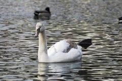 美好的白色天鹅游泳在湖 库存图片