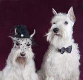 美好的白色小髯狗对 免版税图库摄影