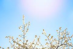 美好的白色开花和迷离光 库存照片