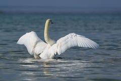 美好的白色成人疣鼻天鹅拉特 天鹅座olor拍动翼 免版税图库摄影