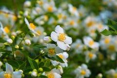 美好的白色春天开花在早晨露水的茉莉花 免版税库存照片