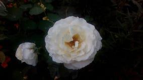 美好的白色玫瑰thet在我的庭院里增长 图库摄影