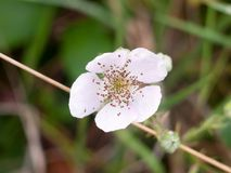 美好的白色荆棘头状花序关闭充分的焦点 免版税库存照片