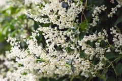 美好的白花摘要花卉开花的背景 庭院麻线植物 库存图片