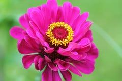 美好的百日菊属elegans或青年时期和年龄或者共同的百日菊属或典雅的百日菊属花在庭院里 免版税库存照片