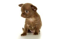 美好的矮小的棕色奇瓦瓦狗小狗开会 免版税库存图片