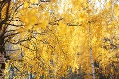 美好的秋天背景,黄色叶子树 图库摄影
