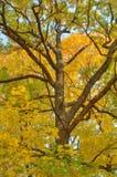 美好的秋天背景-与黄色叶子的树 免版税图库摄影