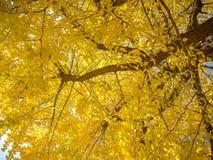 美好的秋天风景、黄色秋天树和叶子,五颜六色的叶子在秋天公园在京都 免版税库存图片