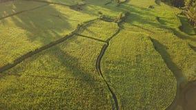 美好的稻田在Ubud,巴厘岛 普遍的旅游在日出期间的Tegalalang大阳台空中寄生虫视图 4k慢动作 股票录像