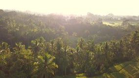 美好的稻田在Ubud,巴厘岛 普遍的旅游在日出期间的Tegalalang大阳台空中寄生虫视图 4k慢动作 股票视频