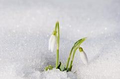美好的第一春天开花snowdrops从下面出现 免版税库存图片