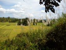 美好的米领域 库存图片