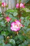 美好的粉红色上升了 爱柔软概念 免版税库存图片