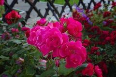 美好的粉红色上升了 花床和葡萄酒篱芭 库存照片