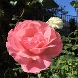 美好的粉红色上升了 免版税库存图片