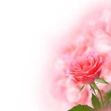 美好的粉红色上升了 库存图片