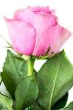 美好的粉红色上升了 免版税库存照片