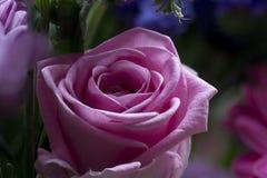 美好的粉红色上升了 图库摄影