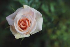 美好的粉红色在庭院里上升了 图库摄影