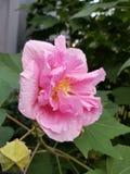 美好的粉红色 免版税库存图片