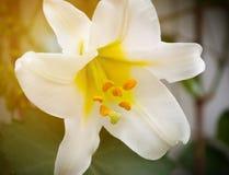 美好的精美百合花黄色在阳光下 免版税库存照片