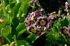 美好的紫罗兰色和紫色樱草属pubescens在夏天开花 库存图片
