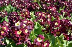 美好的紫罗兰色和紫色樱草属pubescens在夏天阳光下开花 库存照片