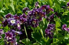 美好的紫罗兰色和紫色樱草属pubescens在夏天阳光下开花 免版税图库摄影