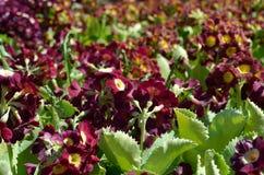 美好的紫罗兰色和紫色樱草属pubescens在夏天阳光下开花 免版税库存图片
