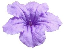 美好的紫罗兰被隔绝Ruellia 图库摄影
