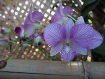 美好的紫色兰花植物,紫罗兰色兰花花 免版税库存图片