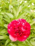 美好的红色大豪华的头状花序外面在庭院春天 免版税库存照片