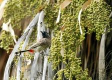 美好的红色放气了在棕榈日期树栖息的歌手 免版税库存照片
