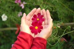 美好的红色波斯菊在手边开花 免版税库存图片