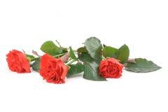 美好的红色玫瑰三白色 免版税库存照片