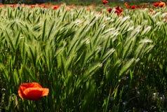 美好的红色鸦片领域春天 免版税库存照片