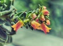 美好的红色黄色开花在窗口的Kalanchoe 免版税库存照片