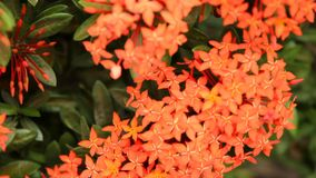 美好的红色Ixora种类在叶子背景开花 股票视频