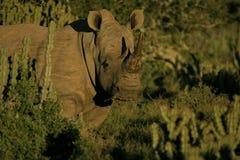 美好的纵向犀牛白色 免版税库存照片