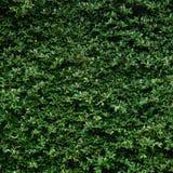 美好的绿色叶子墙壁和背景 免版税库存图片